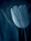 Tulipe bleue Photo stock