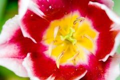 Tulipe colorée Image libre de droits