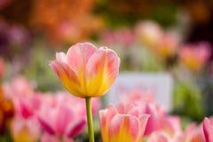 Tulipe colorée dans le jardin Images stock