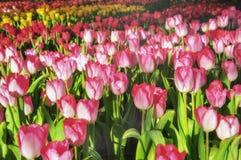 Tulipe colorée de fleurs classée Photo stock
