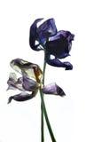 Tulipe défraîchie par deux Photographie stock