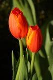 Tulipe d'amoureux Photographie stock libre de droits