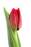 Tulipe d'isolement sur le blanc Images libres de droits