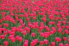 Tulipe dans Gatineau Canada, Amérique du Nord Photos stock