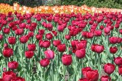 Tulipe dans Gatineau Canada, Amérique du Nord photographie stock