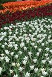 Tulipe dans Gatineau Canada, Amérique du Nord Image libre de droits