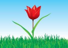 Tulipe dans l'herbe Photos libres de droits