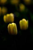 Tulipe dans l'obscurité Photographie stock libre de droits