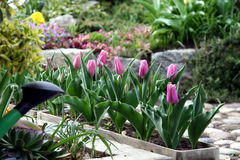 Tulipe dans le bac de fleur Photos stock