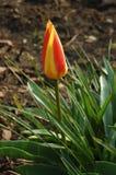 Tulipe dans le jardin Photo stock