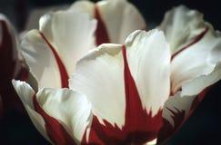 Tulipe de Darwin rouge et blanche Photos stock