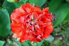 Tulipe de double de Cilesta défunte Image stock
