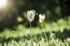 Tulipe de fleur allumée par lumière du soleil en parc photos libres de droits