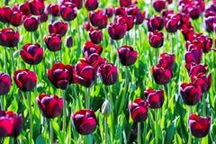 Tulipe de fleur de claret allumée par lumière du soleil photo stock