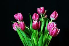 Tulipe de gerbes Photos libres de droits