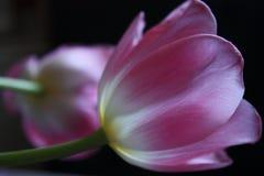 Tulipe de matin Photos libres de droits