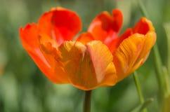 Tulipe de perroquet d'abricot photos libres de droits