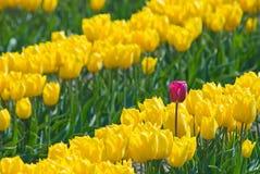 Tulipe de pouvoir photos libres de droits