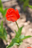 Tulipe de printemps rouge Image stock