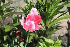 Tulipe de ressort Image stock