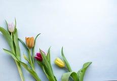 Tulipe de ressort sur le fond pourpre Photo libre de droits