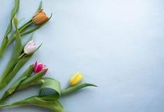Tulipe de ressort sur le fond pourpre Image libre de droits