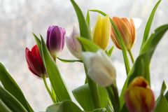 Tulipe de ressort sur le fond pourpre Photographie stock