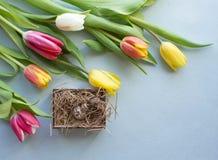 Tulipe de ressort sur le fond pourpre Images libres de droits