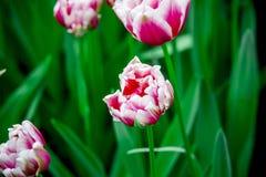 Tulipe de rose et blanche pleine de fleur de Hollande photo stock