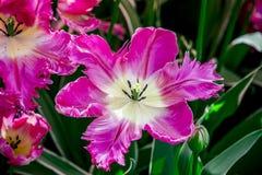 Tulipe de rose et blanche pleine de fleur de Hollande Image libre de droits