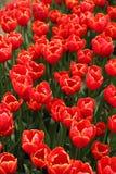 Tulipe de rouge de fleur photo stock