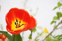 Tulipe de source Photographie stock libre de droits
