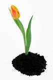 Tulipe de source Photos libres de droits