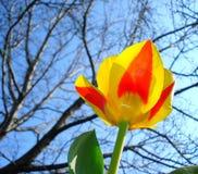 Tulipe de Stresa Images stock