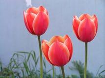 Tulipe de trois rouges Images stock