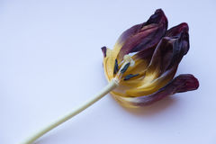 Tulipe de Wither photos stock