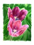 Tulipe deux fleurissante Illustration Libre de Droits