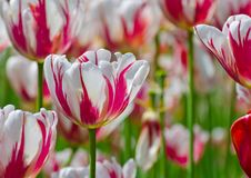 Tulipe du Canada 150 également connue sous le nom de tulipe de feuille d'érable photos stock