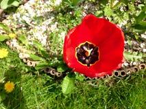 Tulipe du feu Image libre de droits