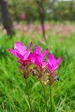 Tulipe du Siam Photographie stock