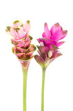 Tulipe du Siam ou fleur de safran des Indes en Thaïlande Image stock