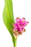 Tulipe du Siam ou fleur de safran des Indes en Thaïlande Photos stock