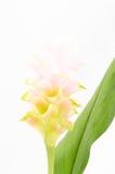Tulipe du Siam ou fleur de safran des Indes en Thaïlande Images stock
