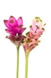 Tulipe du Siam ou fleur de safran des Indes en Thaïlande Images libres de droits