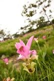 Tulipe du Siam, Thaïlande Image libre de droits