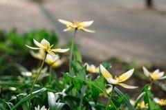 Tulipe en retard de Tarda de Tulipa avec l'inflorescence des fleurs jaunes en pleine floraison s'élevant dans un jardin botanique photos stock
