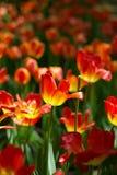 Tulipe en soleil Images libres de droits
