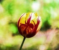 Tulipe ensoleillée Photos stock