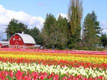 Tulipe et grange Images stock