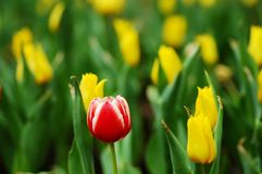 Tulipe exceptionnelle de red&white Image stock